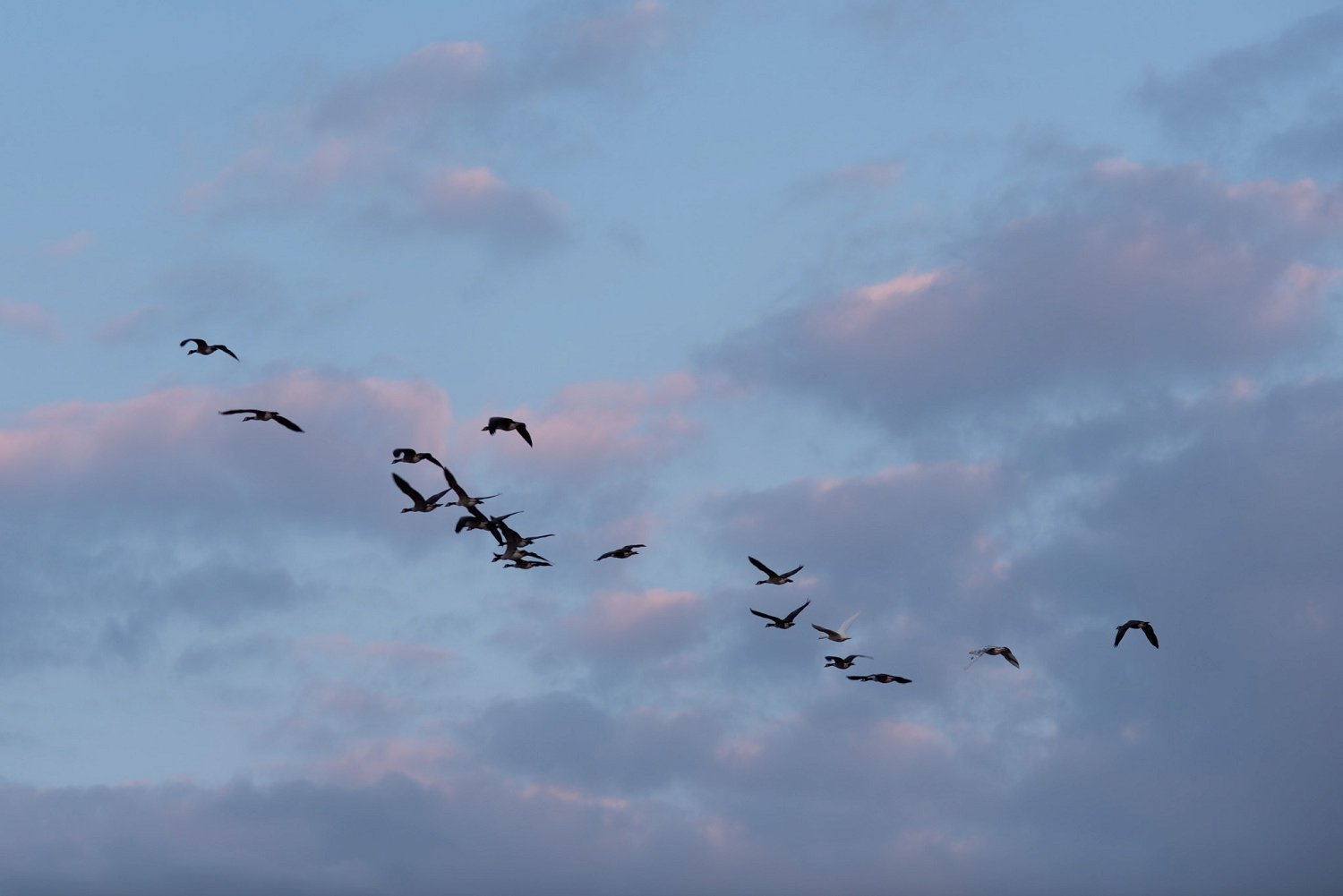 A team of geese in flight above Redbank barn near Hereford